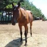 MIMA SHINING BONANZA (MIA)--Americký  Quarter Horse - kobyla
