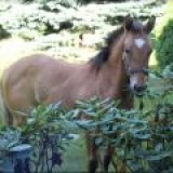 RR WAR LEO TESSA (TESSA) -- Americký Paint Horse - kobyla